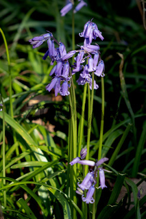 A clump of Bluebells flowering in the spring sunshine