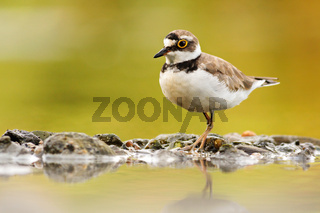 Wild little ringed plover walking on rocks of riverbank with reflection on water