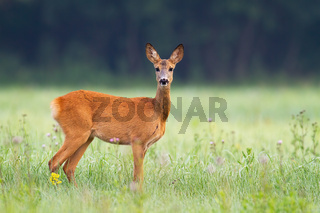 Innocent roe deer doe facing camera on meadow early in the summer morning