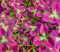 pink clover leaves background