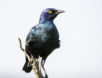 Glossy Starling_1.jpg