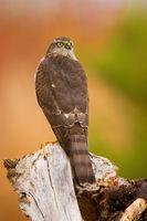 Eurasian sparrowhawk sitting on wood in autumn nature.