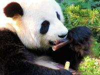 Bambus Björn