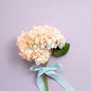 Fresh pink hydrangea flower bouquet on purple background. top view, copy space