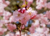 Zierkirsche, blühend, (Prunus 'Accolade')