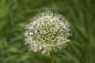 Riesen-Lauch 'Allium Giganteum spec.'