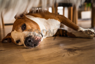 Dog lying on wooden floor indoors, brown amstaff terrier resting on summer day.