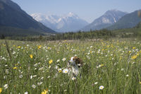 Beagle in Blumenwiese
