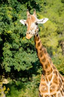 Giraffe im Wald