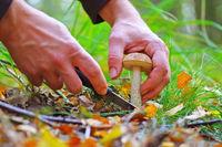 Birkenpilz sammelm und mit Messer schneiden - mushrooming birch bolete and cutting with knife