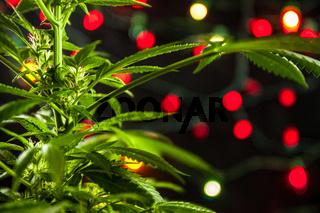 Cannabis plant indoor studio shoot with christmas lights