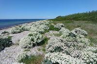 Blühender Strand auf Fehmarn