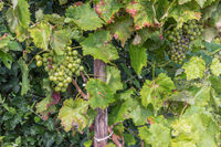 Allotment garden in autumn with detail of ripening grapes