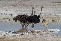 Afrikanische Strauß (Struthio camelus) am Wasserloch, Namibia