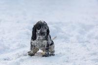 cute baby of dog English Cocker Spaniel puppy
