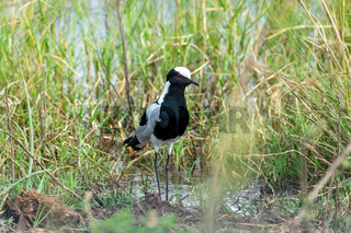 Blacksmith lapwing bird, Bwabwata Namibia Africa