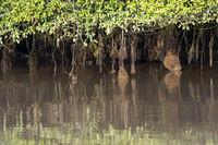 Luftwurzelsystem von Mangroven unter gezeitenbedingten Wasserstandsschwankungen