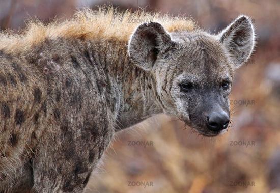 Tüpfelhyäne im Regen, Kruger Nationalpark, Südafrica; hyena in the rain, south africa, wildlife, Crocuta crocuta