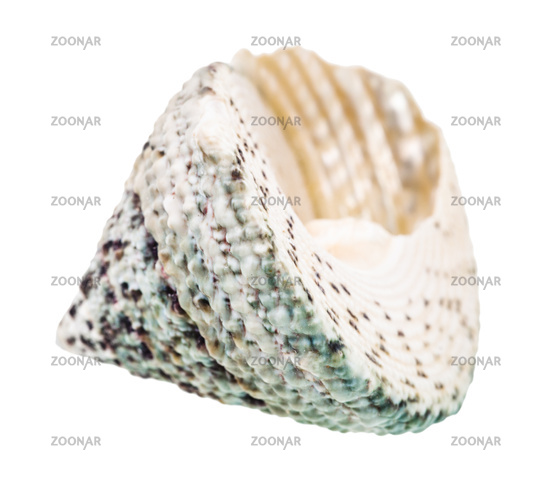 empty shell of slit snail isolated on white