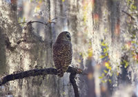Barred Owl Perches on a Branch