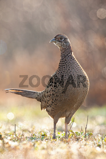 Curious common pheasant hen standing backlit by morning sun in springtime