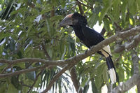 Black and white casqued hornbill that sits among the branches in the crown of a tree