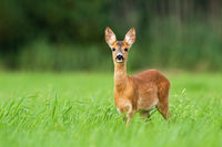 Surprised roe deer fawn looking into camera from front view with copy space.
