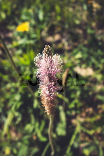 Plantago media flowers in Vanoise national Park, France
