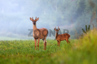 Two different species of deer on green field in summer nature.