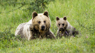 Female brown bear lying on the ground with her little cub in spring