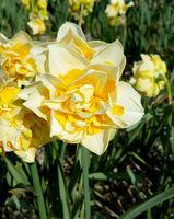Narzisse, Bianca Maria, Narcissus