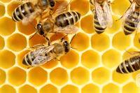 fleissige Bienen bei der Arbeit