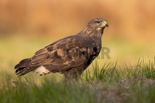 Majestic common buzzard sitting on the ground in autumn.