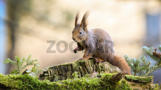 Surprised red squirrel stretching hand forward in forest with little spruce tree
