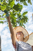 Beautiful blonde young female traveler wearing straw sun hat enjoying summer on Mediterranean cost, picking fruits under a fig tree with lavander flowers and traditional old stone hous in background