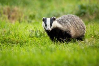 Cute european badger coming forward on fresh green lawn.