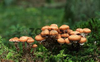 Hallimasch; Armillaria; Baumpilz;