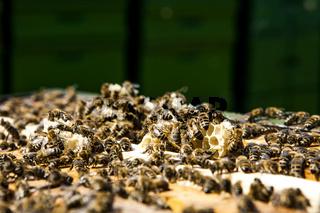 Bienenkönigin mit Drohnen auf einer Honigwabe