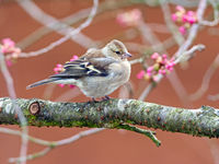 Female common chaffinch bird sitting on a tree