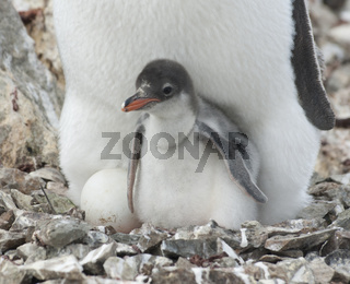 Penguin chick in the nest.