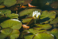 White water lily surrounded by beautiful broad leaves illuminated by the bright spring sun