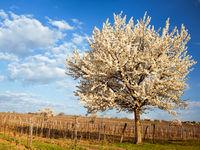 Blooming cherry tree in a vineyard in spring