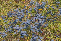Schlehenbeeren  'Prunus spinosa'
