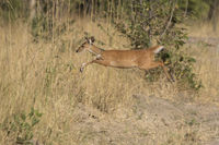 bushbok female jumping over tall grass in the bushy savannah