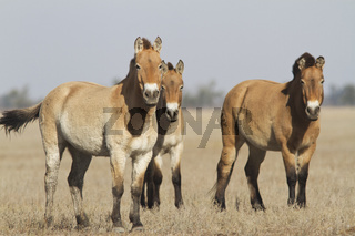 Herd of Przewalski's horses in the Ukrainian steppes.