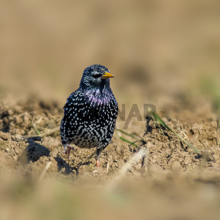 Starling on a field in spring season
