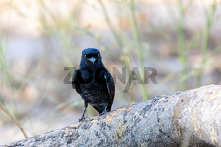 bird Fork-tailed Drongo Africa Namibia safari wildlife