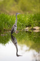 Grey heron standing with legs in water from front view in tranquil nature