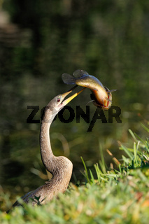 Anhinga eating fish