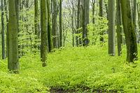 Rotbuchenwald im Fruehling / Kreis Rendsburg Eckernfoerde - Schleswig-Holstein